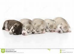 puppies pictures of siberian husky puppies siberian husky puppies  Adorable Husky Puppy Sleeping