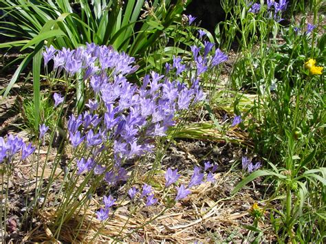 ca plants seasonal color with california bulbs california native plant society