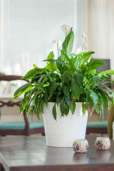 pflegeleichte zimmerpflanzen die wenig licht brauchen