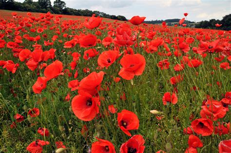 images poppies remembrance war and remembrance the retiring sort