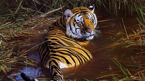 tiger wildlife artwork  wallpapers hd wallpapers id