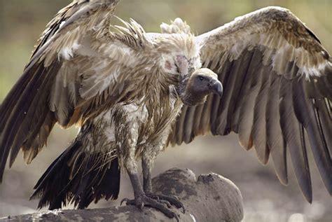 Asian White Backed Vulture Bird Britannica Com