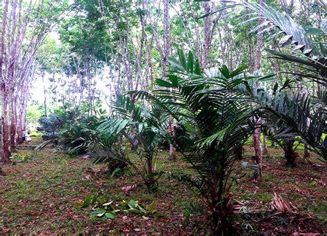 แนวทางการปลูกพืชเสริม สร้างรายได้ ในสวนยาง - Web YangPalm