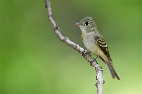 acadian flycatcher audubon field guide