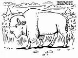 Coloring Bison Realistic Animals Animal Grassland Printable Buffalo Farm Extinct Gun Prairie Getcolorings Coloringbay Popular Ace Able Kansas sketch template