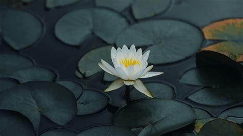 Download wallpaper 3840x2160 lotus, flower, petals, leaves ...