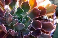1000 images about Sweetstuff Echeveria on Pinterest