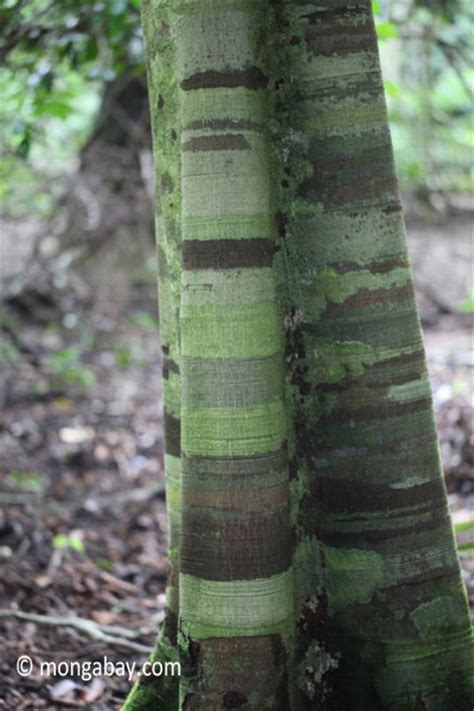 Banded pattern on the bark of a rainforest tree