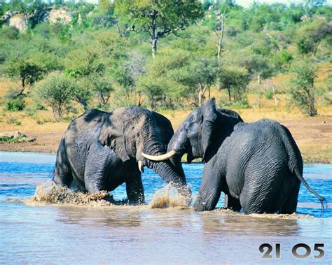 Download Elephants Free Screensaver 2.0