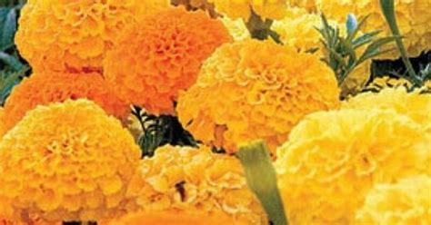 do marigolds keep bugs away marigolds they keep away mosquitos and snakes my garden pinterest gardens snakes and