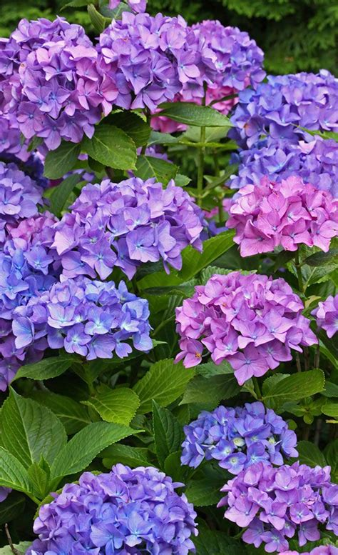 wann hortensien pflanzen die besten 25 wann hortensien schneiden ideen auf pflanzen vermehrung daumen und