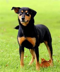 German Shepherd Rottweiler Husky Mix | www.pixshark.com ...