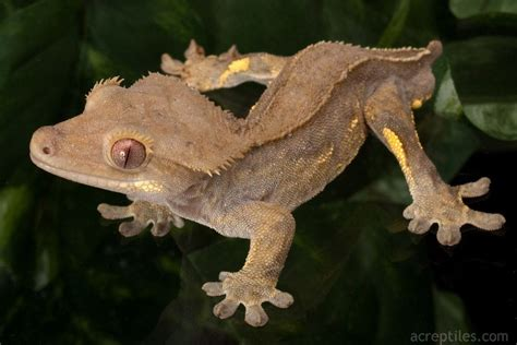 crested gecko lighting crested gecko care page 288