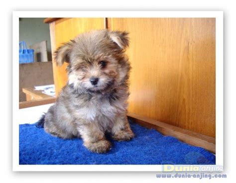dunia anjing jual anjing yorkshire terrier dijual