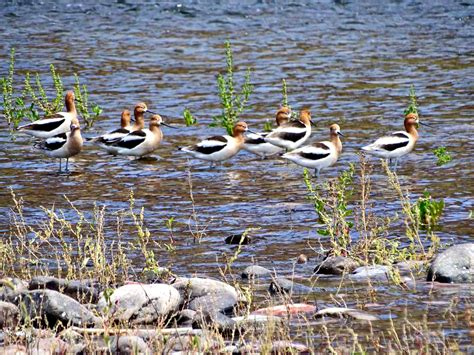 arizona water birds american avocets by c55m on deviantart
