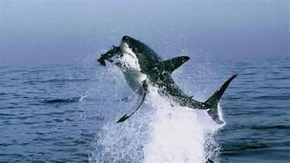 Shark Sharks Attack Bite Animals Animal Beach
