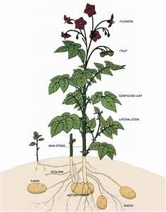 The Potato Plant