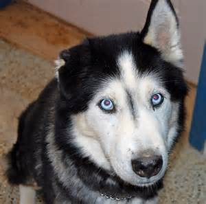 Black Siberian Husky with Blue Eyes