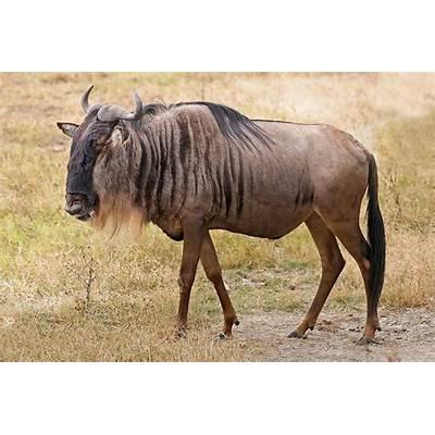 Wildebeest - Wikipedia