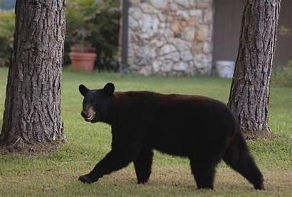 Bear Florida Dead Sun Sightings Criminal Around