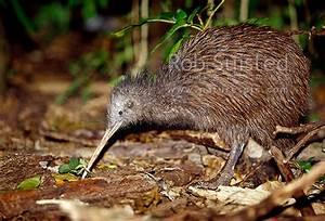 North Island Brown Kiwi bird (Apteryx australis mantelli ...