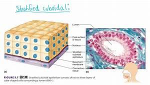 Stratified Cuboidal Epithelium Function