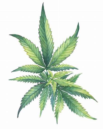 Cannabis Illustration Watercolor Painting Weed Sativa Leaves