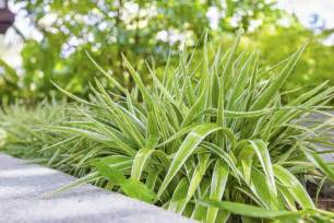 caring for spider plants in gardens using spider plant for ground coverage