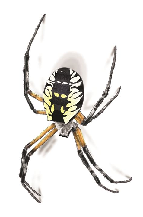 Are Black And Yellow Garden Spiders Poisonous by Garden Spider Facts Get Rid Of Garden Spiders