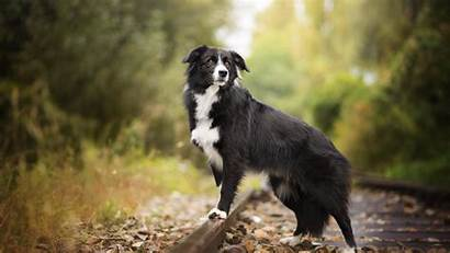 Border Collie Wallpapers Dogs 4k Wallpapertag Backiee