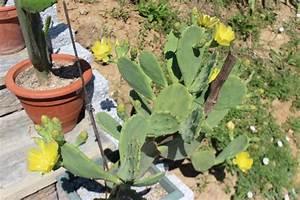 Cactus Sans Epine : quel opuntia ~ Melissatoandfro.com Idées de Décoration