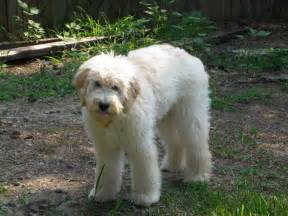 Goldendoodle Summer Haircut