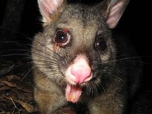 File:Brushtail Possum- Grampians National Park.jpg - Wikipedia