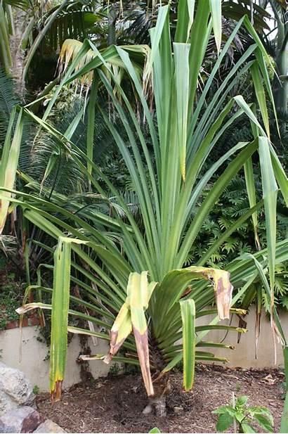 Tropical Plants San Diego Type Looking Palmtalk