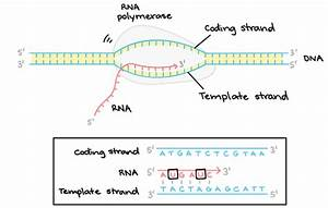 what is dna and rna polymerase quora With when an rna strand forms using dna as a template