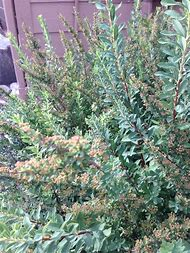 Best shrub identification ideas and images on bing find what you white flower bushes and shrubs identification mightylinksfo