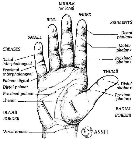 The Rochester Hand Center Anatomy