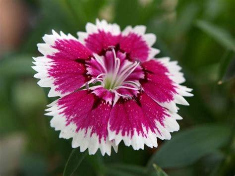 fiori garofano garofano dianthus dianthus perenni garofano