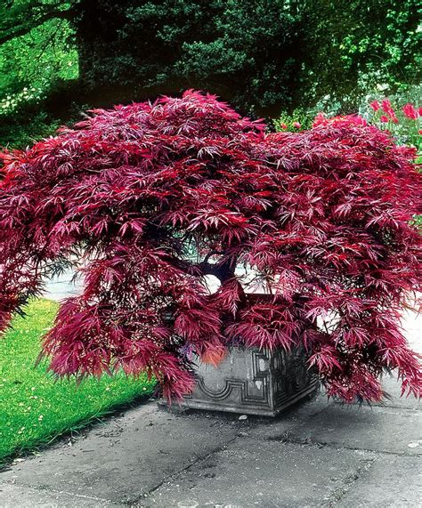 small japanese maple best 25 japanischer ahorn ideas on pinterest
