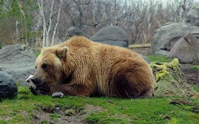 Bear Brown Eastern Wallpapers Background Backgrounds Sleeping