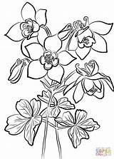 Columbine Coloring Fan Pages Flowers Drawing Printable Categories Game Supercoloring sketch template