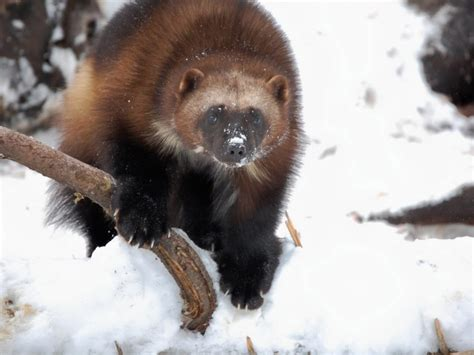 Wolverine Animal Wallpaper - wolverine animal wallpaper gallery