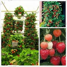 Productive 200 Climbing Strawberry Seeds Easy To Plant