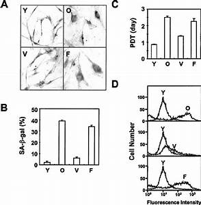 characterization of the cellular senescence of foxo3a With stable 5v from old cells