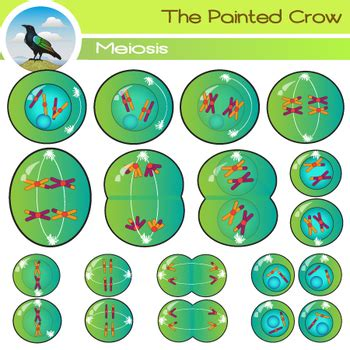 meiosis clip art cell division   painted crow tpt