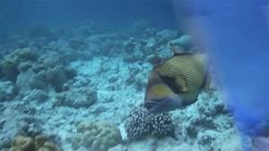 Titan Triggerfish Attack on Vimeo