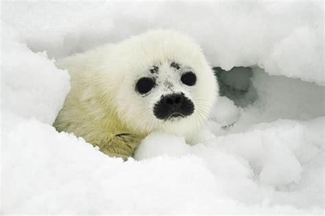 arctic animals    risk  climate