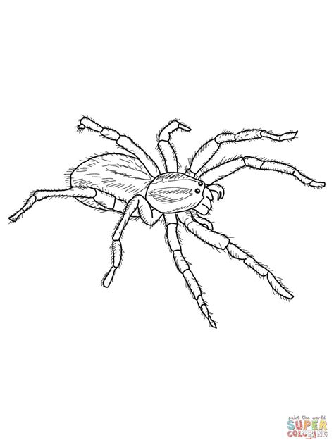 White Tail Spider Coloring Download White Tail Spider