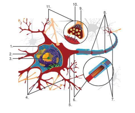 nachhilfe aufbau der nervenzelle