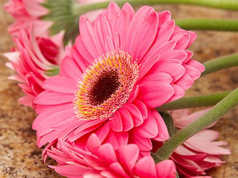Hd Wallpapers Pink Daisy Flowers Pictures